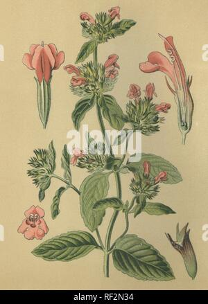 Wild Basil (Clinopodium vulgare, Satureja vulgare), medicinal plant, historical chromolithograph dated to 1880 - Stock Photo