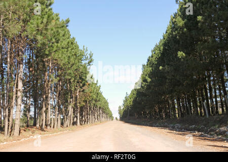 dirt road that in the middle of Pinus elliottii plantation - Stock Photo