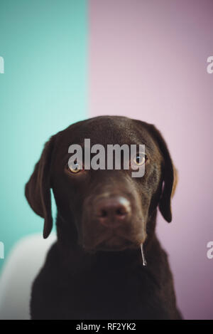 A young chocolate lab sits looking at the camera against a colorful two tone painted wall, with slobber drooling out of his mouth. - Stock Photo