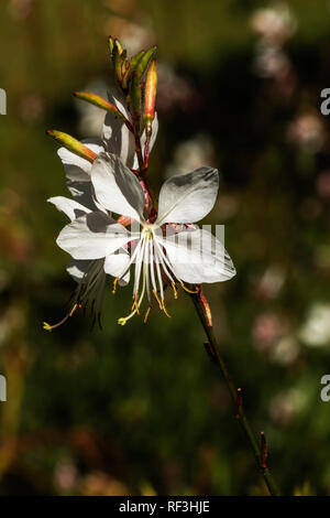Close up of the white gaura flower - Stock Photo