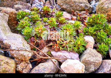 Small green plants grow between the stones in nature. - Stock Photo