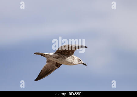 Detailed image of a seagull in flight against blue  sky - Stock Photo