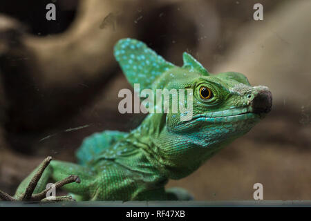 Plumed basilisk (Basiliscus plumifrons), also known as the green basilisk. - Stock Photo