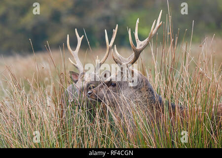 Sika deer (Cervus nippon) in the countryside of Devon, southwest England. The Sika is native to Japan, but can now be found in the UK. - Stock Photo