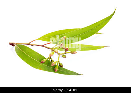 Eucalyptus leaves isolated on white background. Myrtaceae - Stock Photo