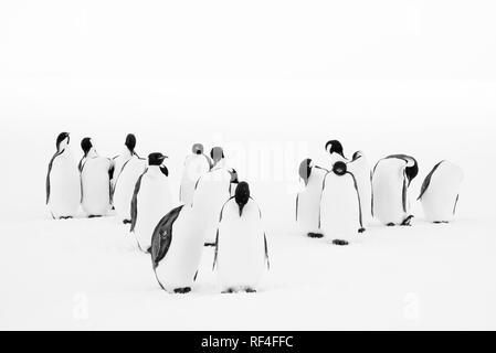 Black and white photo of a group of emperor penguins grooming their feathers - Stock Photo