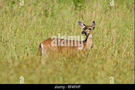 Black-tailed deer in meadow at Prairie Creek Redwoods State Park in northern California.