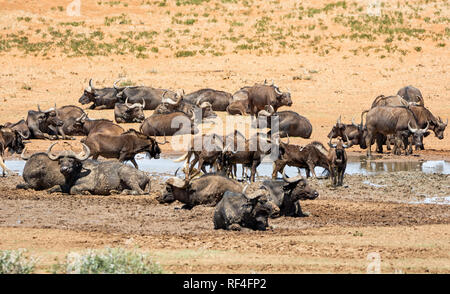 Herds of Black Wildebeest and Cape Buffalo gather at a watering hole in Southern African savanna - Stock Photo