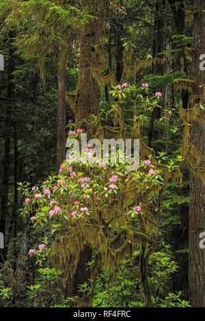 Rhododendron blooming among redwood trees along Howland Hill Road, Jedediah Smith Redwoods State Park, California. - Stock Photo