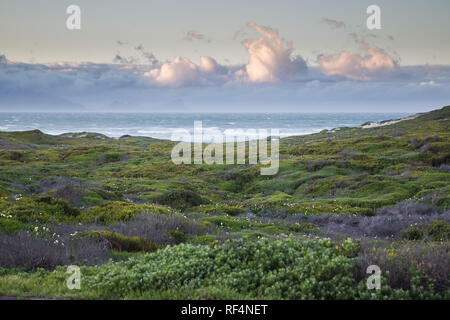 Wild flowers, especially calla lilies or arum lilies, Zantedeschia aethiopica, bloom in spring along roadsides in Cape Town, Western Cape, South Afric - Stock Photo