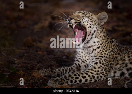 Many areas of the Okavango Delta, North West District, Botswana are famous for frequent opportunities to see big cats like leopard, Panther pardus - Stock Photo