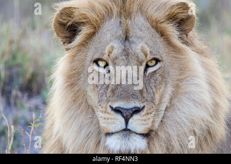 Lion are frequently seen hunting on the flood plains of the Linyanti River in northern Botswana. - Stock Photo