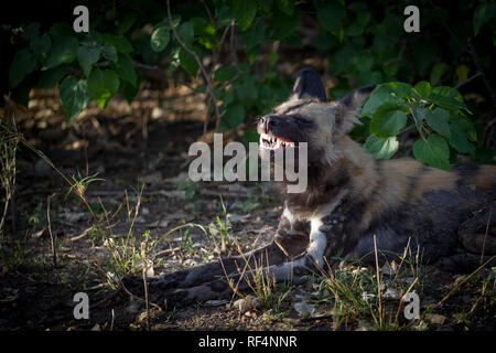 Wild dog, Lycaon pictus, are endangered and generally rare, but they can be seen in concessions of the Linyanti Region, North West Province, Botswana. - Stock Photo