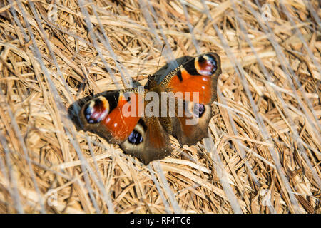 European peacock butterfly sitting on a bale of hay - closeup - Stock Photo