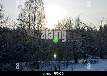 Many fir trees standing under the snow on the frosty winter. - Stock Photo
