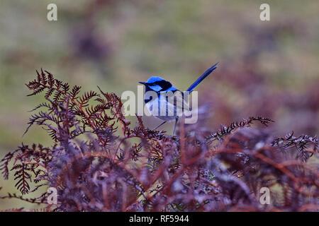 Beautiful blue of superb fairy wren bird in Tasmania - Stock Photo