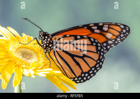 Monarch butterfly danaus plexippus resting on a yellow gerbera flower in the morning sun on a soft green background - male - Stock Photo