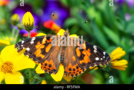 Painted lady butterfly Vanessa Cardui with her wings spread over a colorful backdrop of flowers - Stock Photo
