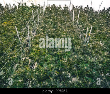Top view overhead full grown marijuana ready for harvest and distribution in local cannabis dispensary - Stock Photo