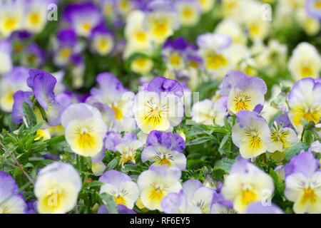 Viola x wittrockiana flowers. Pansy cool wave series. - Stock Photo