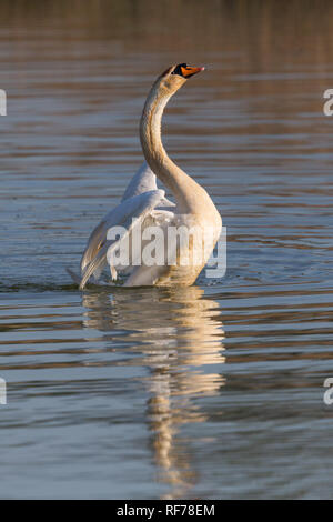 one natural mute swan (cygnus olor) shaking wings on water surface - Stock Photo
