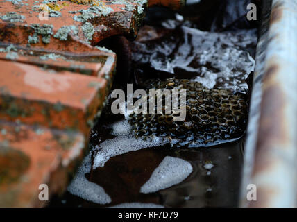 Old clogged rain gutter with Leaves and vespiary - Stock Photo