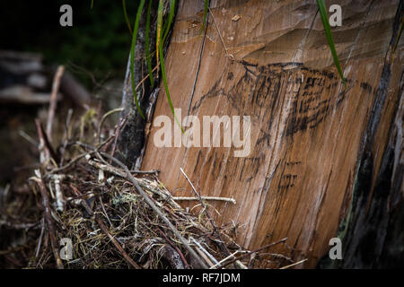 Tree poaching gangs mark territory with graffiti on critically endanged Mulanje Cedar stumps, Widdringtonia whytei, Mount Mulanje Massif , Malawi - Stock Photo
