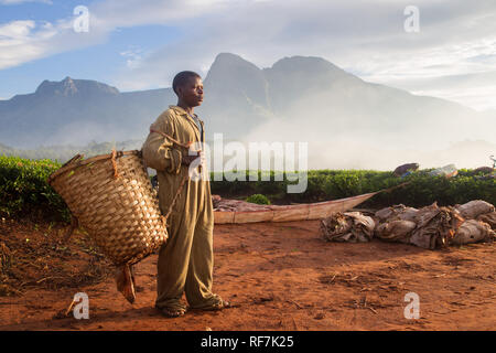 A tea picker worker poses for a portrait on a tea estate at the foot of Mount Mulanje Massive, in Southern District, Malawi. Tea is a key cash crop. - Stock Photo