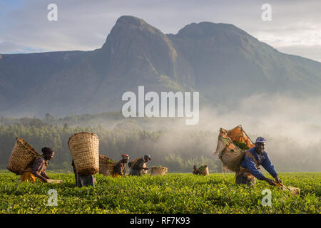 Tea picker workers pose for a portrait on a tea estate at the foot of Mount Mulanje Massive, in Southern District, Malawi. Tea is a key cash crop. - Stock Photo