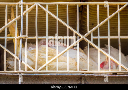 Injured young broiler chicken on its back, unable to stand in transport crate during live haul transport to slaughter. British Columbia, Canada. - Stock Photo