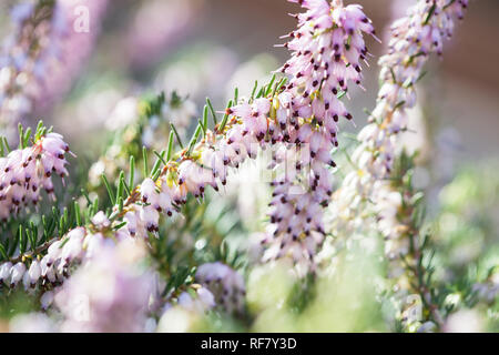 Delicate rose-pink flowers of Erica darleyensis plant (Winter Heath) in winter garden during sunny day