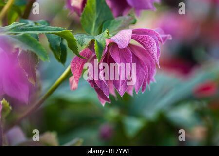Close-up photo of beautiful purple pink with burgundy veins double flowers of lenten rose Elly (Helleborus orientalis) flowering during winter