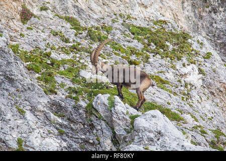 Alpine ibex (Capra ibex) perched on rock - Stock Photo