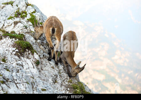 Two young Alpine ibex (Capra ibex) - Stock Photo