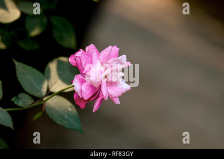 A rose is a woody perennial flowering plant of the genus Rosa. - Stock Photo