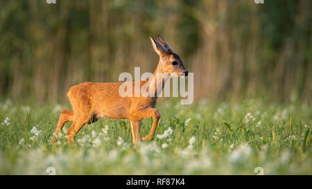 Roe deer, capreolus capreolus, fawn walking on a meadow with wildflowers. Cute youngster of wild animal in nature. Mammal baby. - Stock Photo