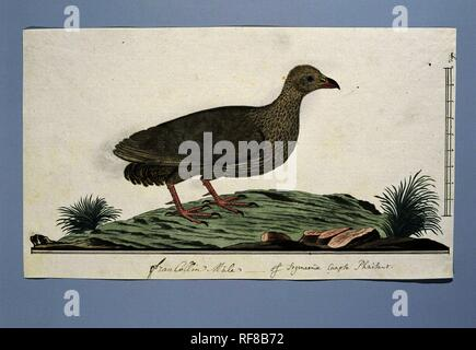 Francolinus capensis (Cape spurfowl or Cape francolin). Draughtsman: Robert Jacob Gordon. Dating: c. Nov-1778. Measurements: h 660 mm × w 480 mm; h 229 mm × w 399 mm; h 202 mm × w 399 mm. Museum: Rijksmuseum, Amsterdam. - Stock Photo
