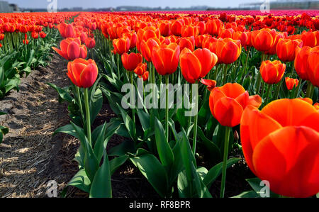 Fields of Tulips in Holland specially grown for their famous bulbs - Stock Photo