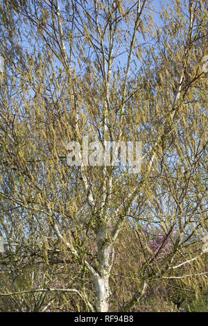 Male catkins on Betula utilis var. jacquemontii 'Silver Shadow'  tree in Spring. - Stock Photo