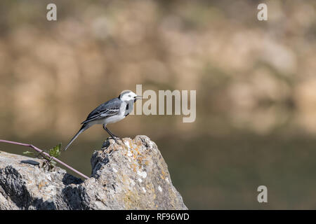 A white wagtail sitting on a rock in springtime in Croatia - Stock Photo