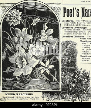 ". Catalogue of autumn bulbs : 1898. Seed industry and trade Catalogs; Vegetables Seeds Catalogs; Flowers Seeds Catalogs; Grasses Seeds Catalogs; Bulbs (Plants) Seeds Catalogs. THE POET'S DAFFODIL, NARCISSUS POETICUS ORNATUS. Poet's )laici»(Ei« Poeticus. The ""Pheasant's Eye,"" or ""Poet's Narcissus,"" pure white flowers, with orange cup, edged with crimson. Splendid cut flower Poeticus Burbidg'ei. An early-flowering Poeticus, fully a month earlier. Flowers 2% inches across, round, broad, overlapping petals. Pure white, cup edged with orange- scarlet, very fine for both forcin - Stock Photo"
