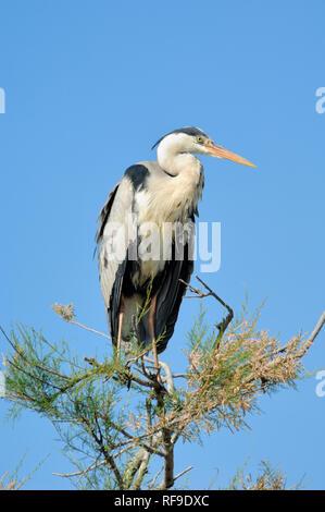 Grey Heron, Ardea cinerea, Perched in Tamarisk Tree Camargue Provence France - Stock Photo