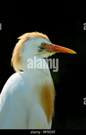 Portrait of a Cattle Egret, Bubulcus ibis, in the Camargue Region Provence France - Stock Photo