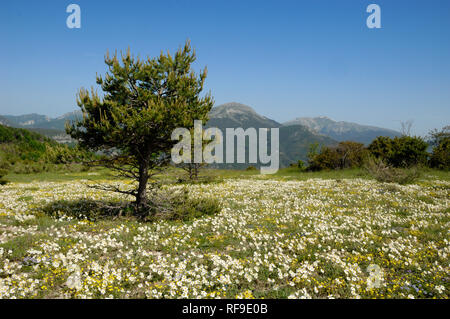 Wild Flower Meadow or Spring Meadow, including White Rock-rose, Helianthemum apenninum, Courchons in the Verdon Regional Park Provence France