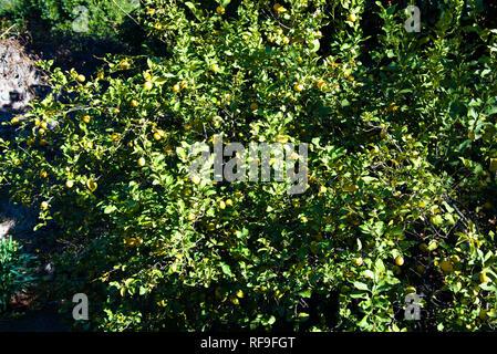 Lemon tree Citrus limon, tree with fruits in the garden - Stock Photo