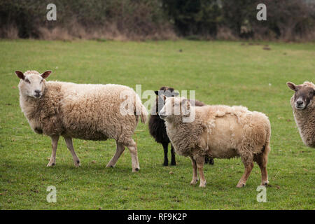 Flock of sheep standing in a green field on a cloudy winters day in England - Stock Photo