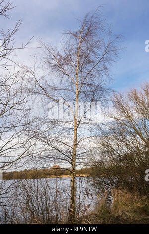 Silver birch tree beside the lake at Eye Green Local Nature Reserve, Peterborough, Cambridgeshire, England on a cold winter day - Stock Photo