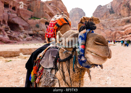 Close-up view of two beautiful camels in the Unesco World Heritage Site in Petra. Petra is a historical and archaeological city in southern Jordan. - Stock Photo