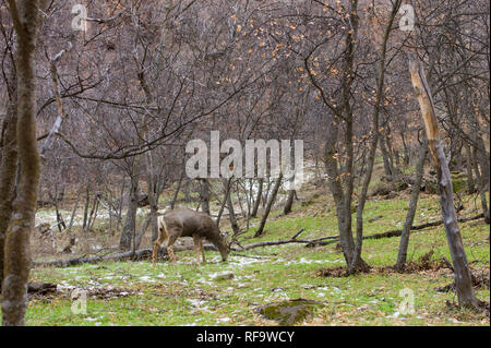 A deer finds green grass to graze on in the middle of winter along the banks of the Virgin River in Zion Canyon, Zion National Park, Springdale, Utah. - Stock Photo
