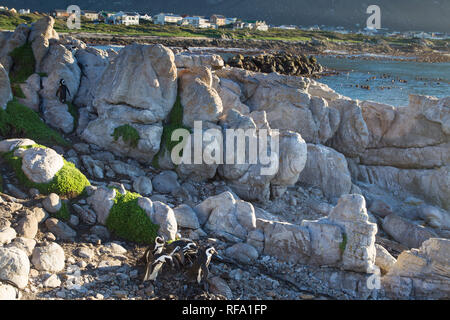 It's unusual for African penguins, Spheniscus demersus, to breed on the mainland, but they do at a colony at Stony Point Nature Reserve, Betty's Bay - Stock Photo